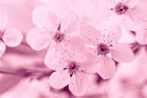 Closeup of blossoming cherry branch, pink toned